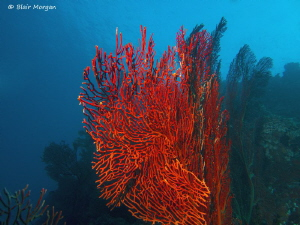 Red Gorgonian Fan Coral, Caesar's Rock, Beqa Lagoon, Fiji... by Blair Morgan 